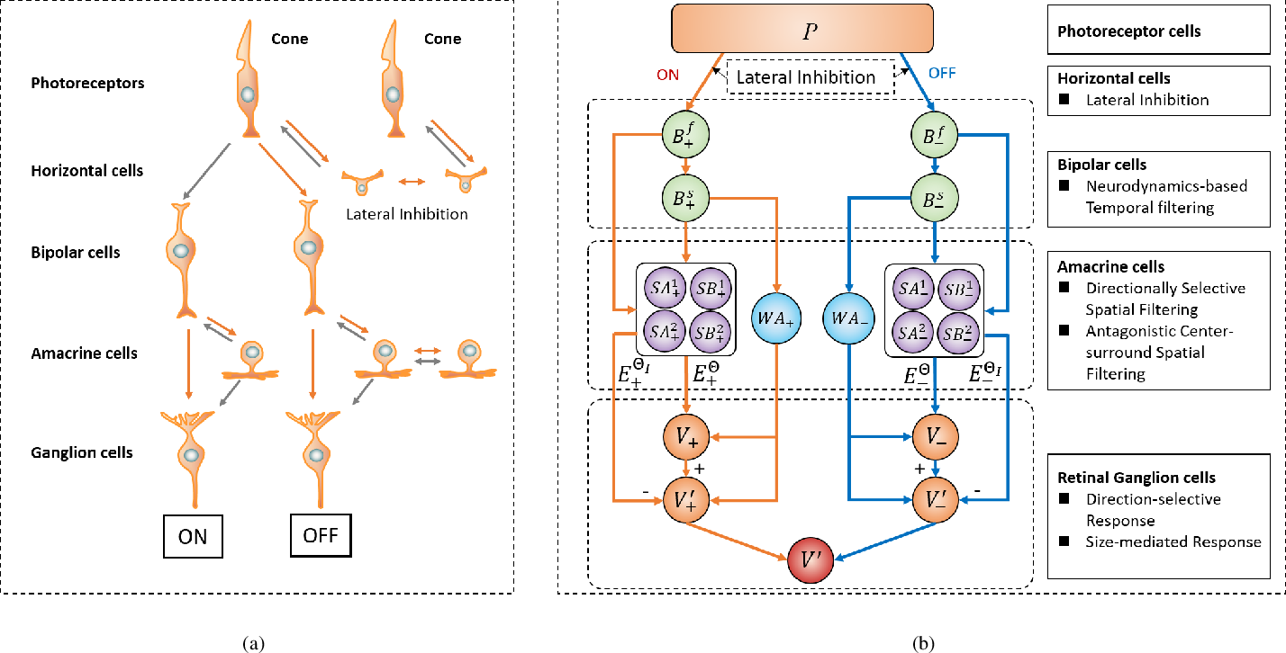Figure 1 for A Bioinspired Retinal Neural Network for Accurately Extracting Small-Target Motion Information in Cluttered Backgrounds
