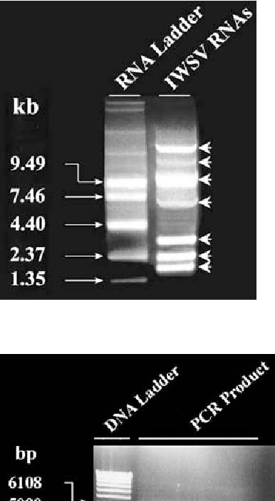 Echinochloa hoja blanca virus - Semantic Scholar