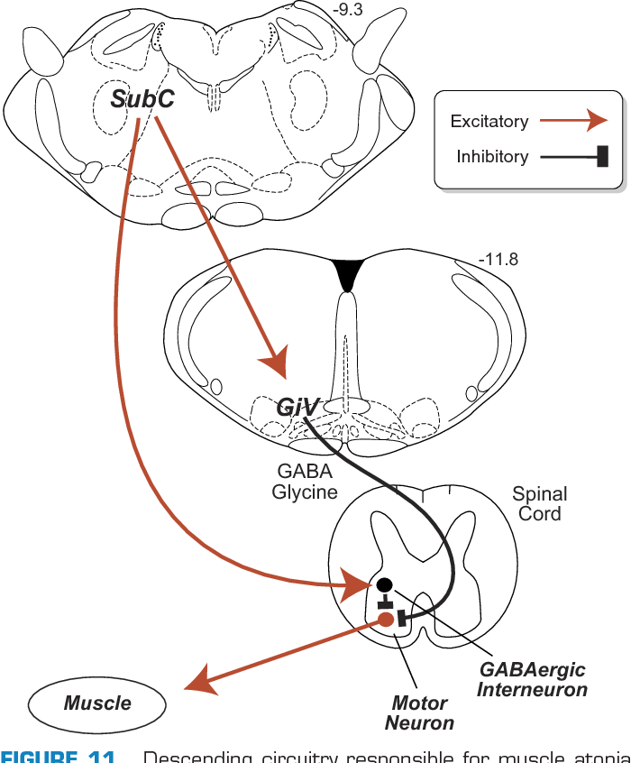 Figure 11 From Control Of Sleep And Wakefulness