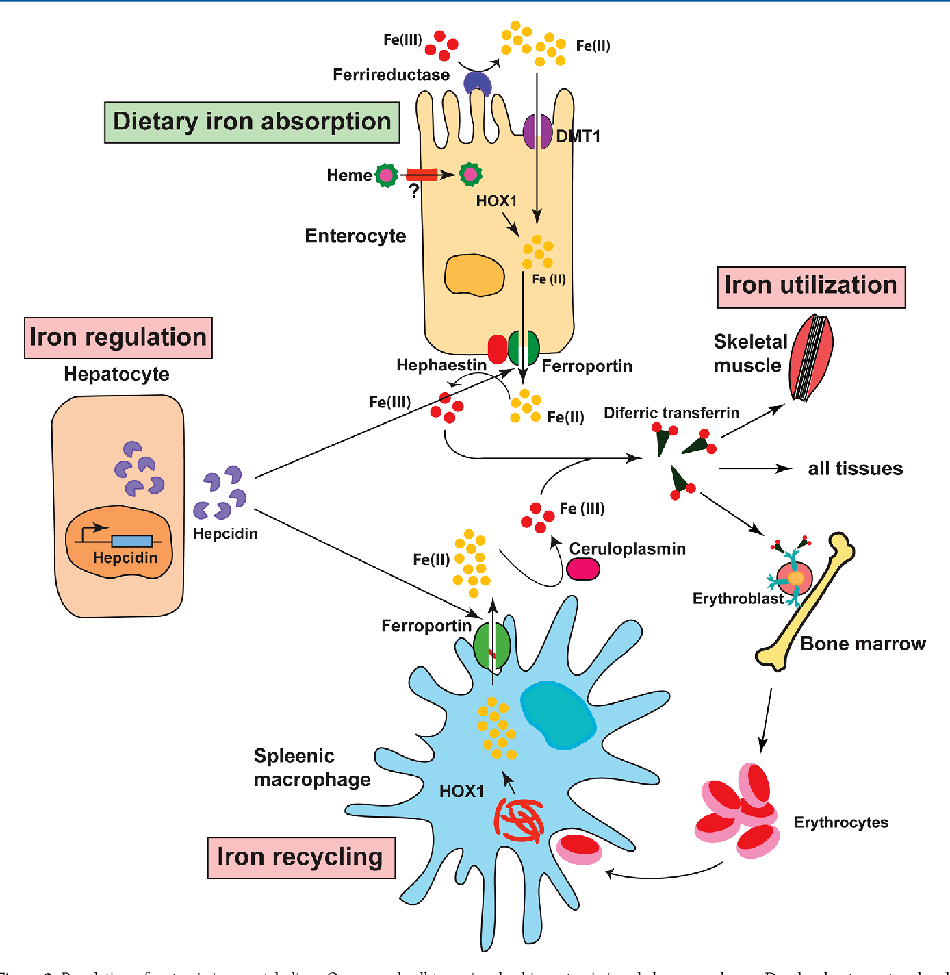 1 Cellular iron metabolism. Iron transport across the