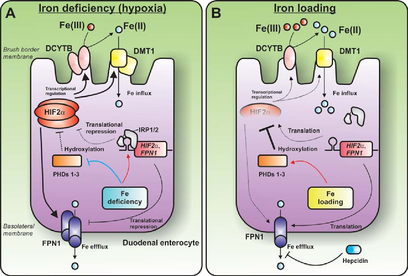 Figure 2 From Duodenal Cytochrome B Dcytb In Iron Metabolism An