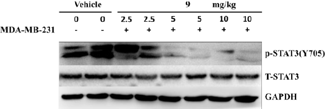 Figure 17. Immunoblots of P-STAT3(Y705), T-STAT3 or GAPDH from whole-cell lysates from tumor tissues treated with 2.5, 5, 10 mg/kg compound 9. Positions of proteins in gel are shown with control lane.
