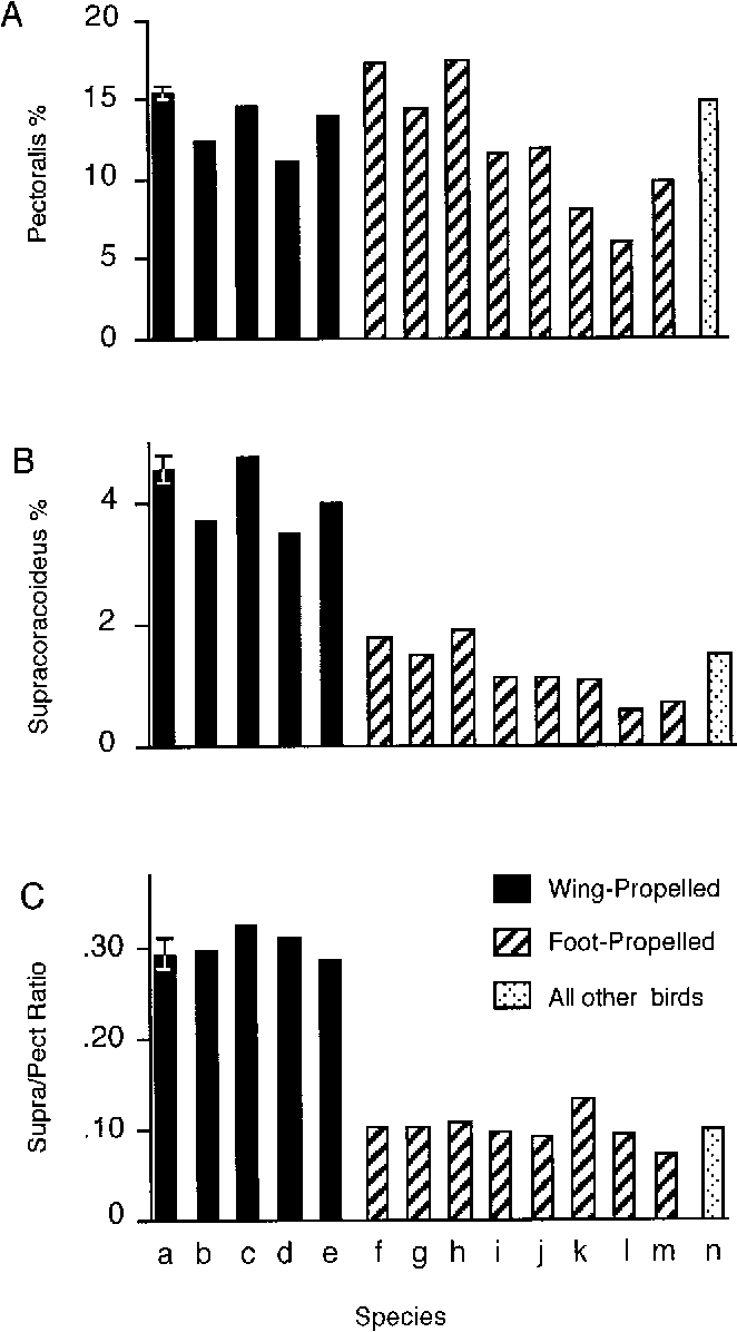 Anatomy and histochemistry of flight muscles in a wing-propelled ...
