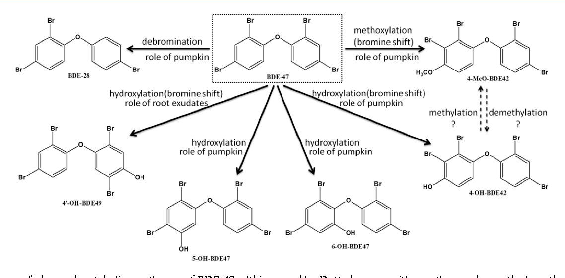 scheme of observed metabolism pathways of bde-47 within pumpkin  dotted