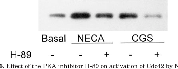 Fig. 6. Effect of the PKA inhibitor H-89 on activation of Cdc42 by NECA or by CGS 21680 (CGS). HMC-1 cells were preincubated at 37°C for 40 min with 1 mM H-89 (1) or with its vehicle (2) before 1 min of stimulation with 10 mM NECA or 1 mM CGS 21680. Activation of Cdc42 was determined by affinity precipitation with GST-PBD followed by Western blotting as described under Materials and Methods. Results are representative of three independent experiments.