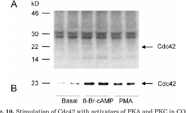 Fig. 10. Stimulation of Cdc42 with activators of PKA and PKC in COS-7 cells labeled with 32Pi. Metabolic labeling of COS-7 cells was accomplished by incubation with 32Pi in phosphate-free medium for 4 h. The cells were then incubated in the absence or in the presence of 10 mM 8-Br-cAMP or 10 nM PMA for an additional 15 min. Cdc42 was precipitated from cell lysates with GST-PBD, separated by SDS-PAGE, and processed for Western blotting (B) and phosphoimaging (A). Data are presented in duplicates. Results are representative of two independent experiments. Arrows indicate positions of Cdc42 on the gels.