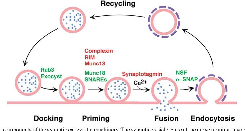 The Molecular Machinery Of Synaptic Vesicle Exocytosis Semantic