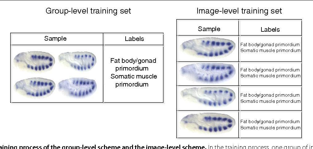 Image-level and group-level models for Drosophila gene