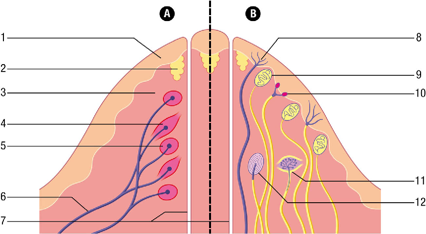 Innervation of the Male Breast: Psychological and Physiological ...