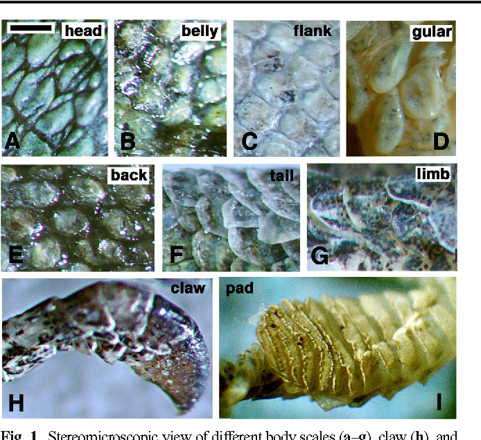 Fig. 1 Stereomicroscopic view of different body scales (a–g), claw (h), and adhesive digit pad (i) from different regions of the body of A. carolinensis. The scale bar (=0.5 mm) in a is valid for all the figures (b–i)