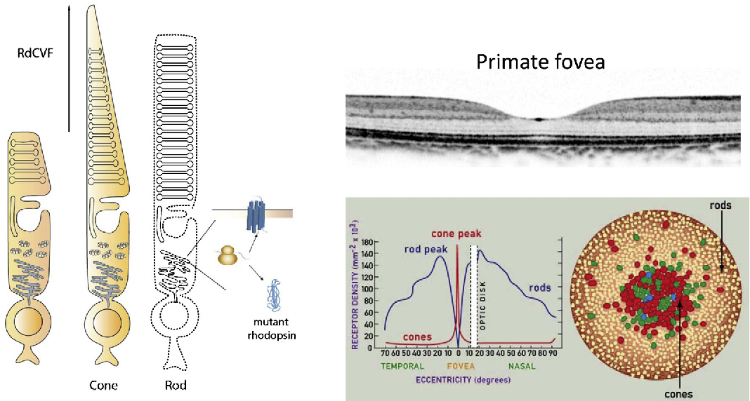 Figure 3 from Gene therapy for inherited retinal degenerations ...