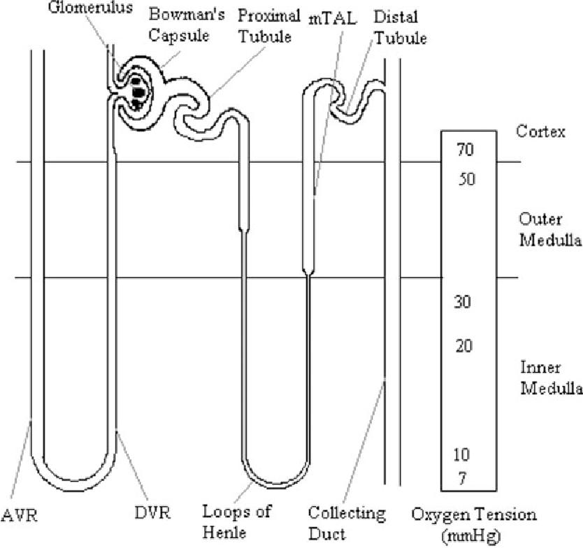 Oxygen transport across vasa recta in the renal medulla. - Semantic ...