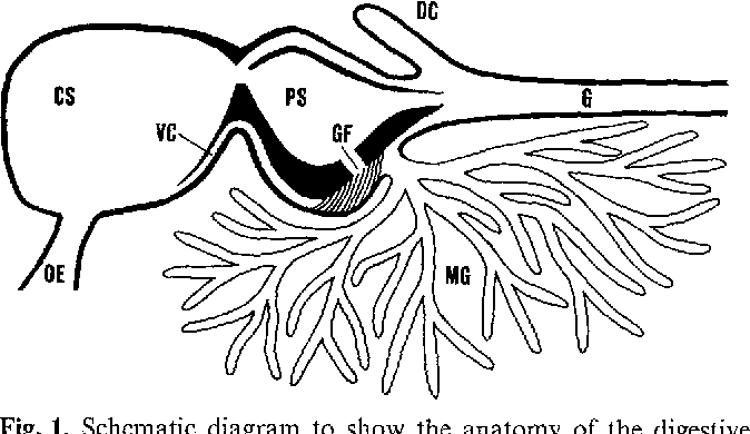 Biosynthesis Of Astacus Protease A Digestive Enzyme From Crayfish