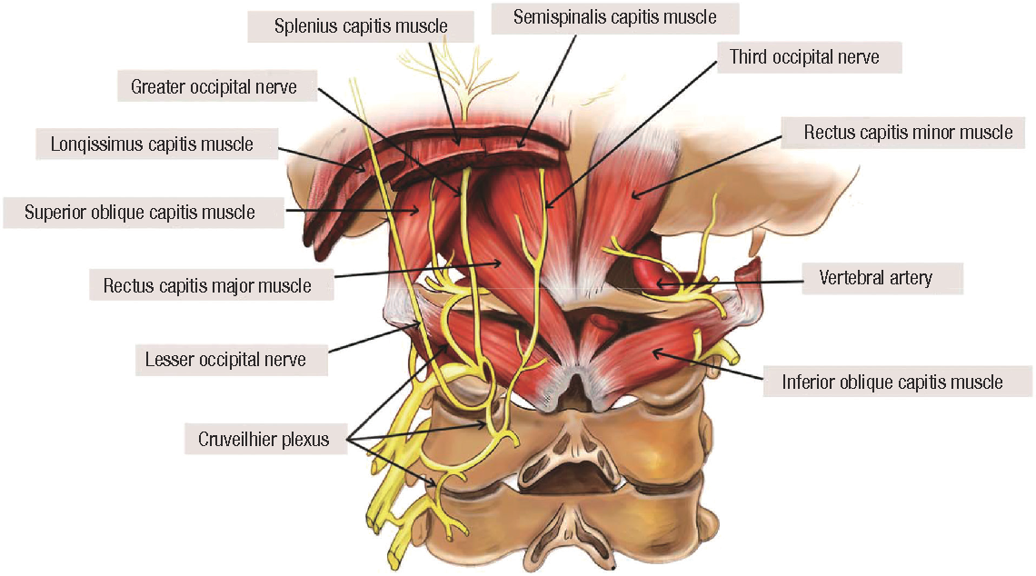 anatomy around occipital nerve