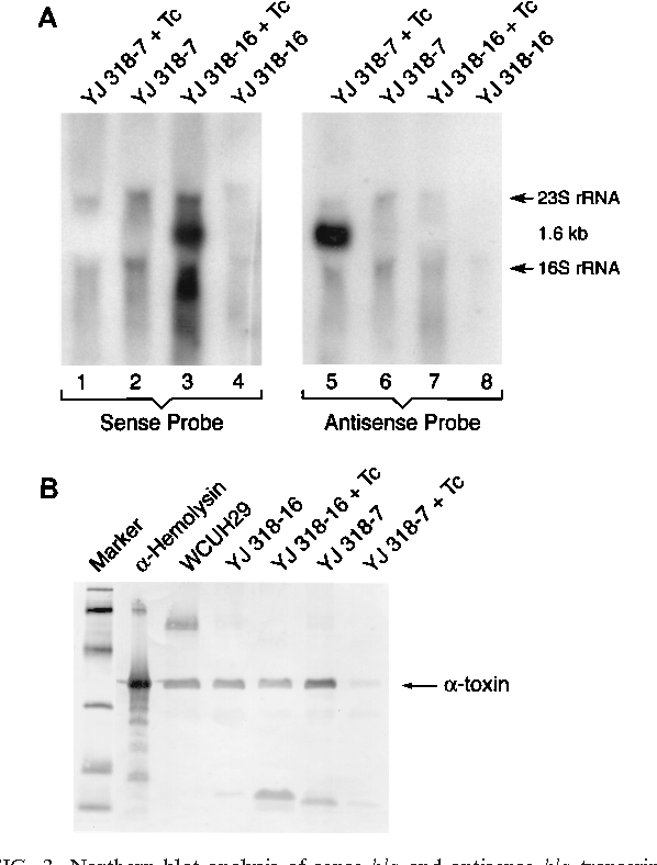 FIG. 3. Northern blot analysis of sense hla and antisense hla transcription (A). DIG-labeled single-stranded DNA oligonucleotide probes hybridized specifically with either sense hla RNA (sense probe) or antisense hla RNA (antisense probe). Hybridization of the 1.6-kb RNA represents the hla-cat cotranscripts. Western blot analysis of alpha-toxin expressed in strain WCUH29 and its isogenic strains with or without Tc induction (B). Lanes: 1, molecular weight markers (biotinylated low-molecular-weight SDS-PAGE standards; Bio-Rad) 2, alpha-hemolysin (Sigma) as positive standard control; 3, proteins from WCUH29 culture supernatant; 4, proteins from YJ318-16 culture supernatant without induction; 5, proteins from YJ318-16 culture supernatant with Tc induction; 6, proteins from YJ318-7 culture supernatant without induction; 7, proteins from YJ318-7 culture supernatant with Tc induction.