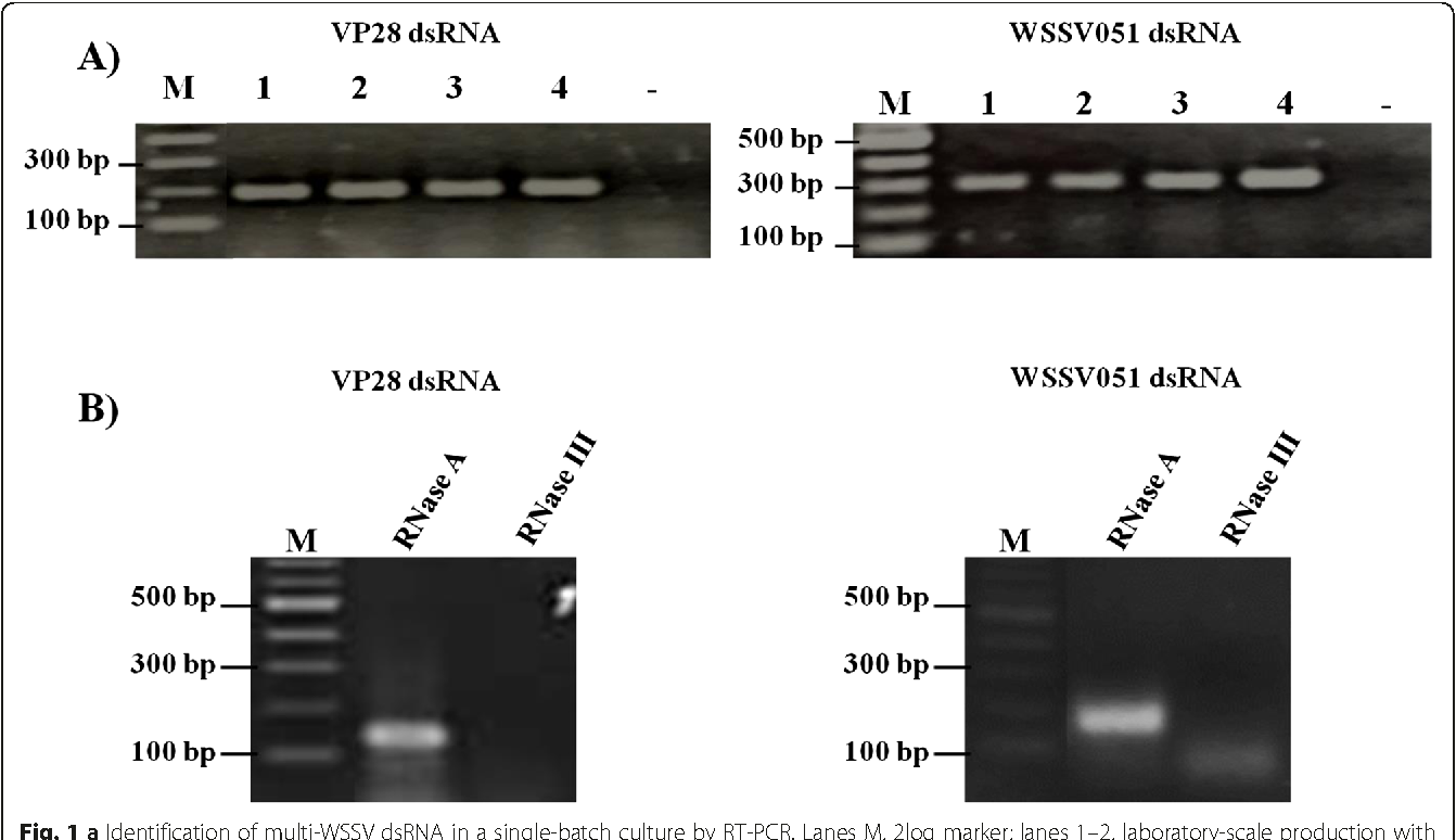 Fig. 1 a Identification of multi-WSSV dsRNA in a single-batch culture by RT-PCR. Lanes M, 2log marker; lanes 1–2, laboratory-scale production with LB and TB medium, respectively; lanes 3–4, large-scale production under batch and fed-batch processes, respectively; Lane -, negative control using DEP-C water as template. b Integrity analysis of individual single-targeted dsRNA from bacterial cells. E. coli HT115 expressed WSSV051 and VP28 dsRNA were subjected for dsRNA extraction. The respective dsRNAs were characterized by nuclease treatments using RNase A and RNase III for digestion of the ssRNA and dsRNA, respectively