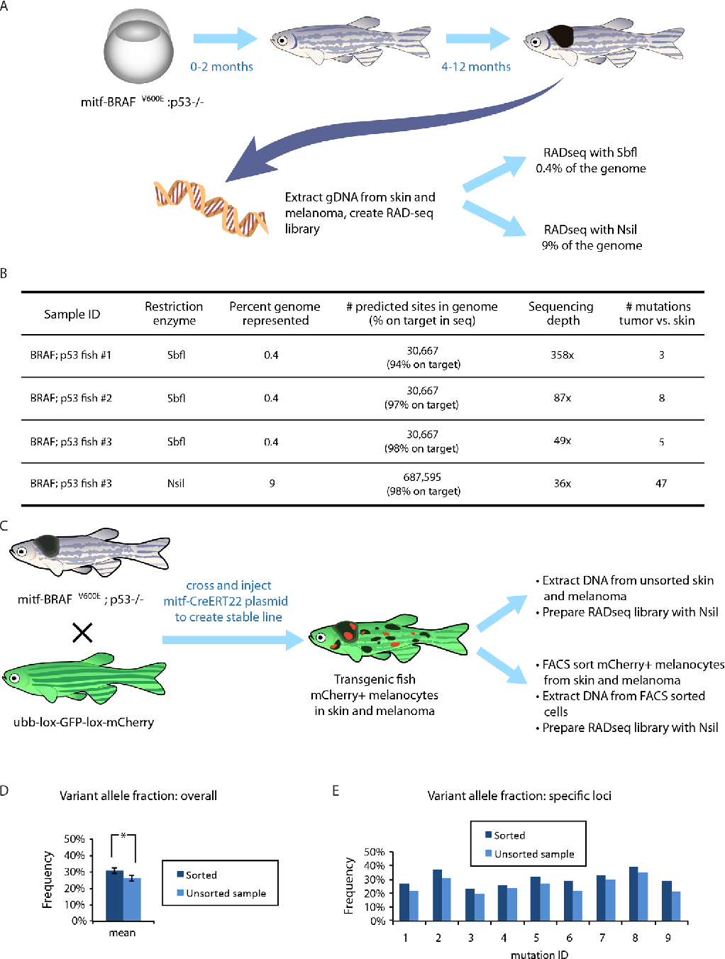 """Figure 2: Applying RADseq to a zebrafish model of melanoma. A. A transgenic zebrafish model in which the mitfa promoter drives human oncogenic BRAFV600E. The embryos (left) and young adults (center) are relatively normal, but all adults (right) develop clinically overt melanomas within 4-12 months. Genomic DNA was isolated from a melanoma as well as surrounding skin in four of these transgenic animals and RADseq libraries were created from gDNA using either SbfI (0.4% of the genome) or NsiI (9% of the genome). B. The efficiency of reads mapping to restriction enzyme cut sites in the genome, along with the depth of coverage and the number of mutations discovered in each melanoma. We found a small number of mutations in 3 melanomas when sampling 0.4% of the genome. For one fish, the same genomic DNA was used for RADseq with NsiI, and shows a much higher number of mutations, given the greater coverage of the genome. C. A fate-mapping transgenic line was created to assess the efficiency of RADseq on subpopulations of cells. The mitf-BRAF;p53 model was bred with a fluorescent color """"switch"""" line in which a floxed GFP cassette can be swapped for an mCherry cassette upon Cre-mediated recombination. This cross was injected with a melanocyte-specific mitf-CreERT2 plasmid. Upon endoxifen or tamoxifen treatment, a subset of the melanocytes in the skin as well as within the melanoma switched from GFP to mCherry. Genomic DNA was extracted from either the bulk tumor/skin, or from FACS sorted mCherry+ melanocytes from the tumor/skin pair. D. Overall variant allele fractions across all mutations in the sorted vs. unsorted populations showed a significant increase in the mCherry+ subpopulations (*,p < 0.05, t-test). E. Individual mutation variant allele fractions are shown, consistently demonstrating increased sensitivity in the sorted population, which facilitates higher-confidence mutation calling in subclonal populations."""