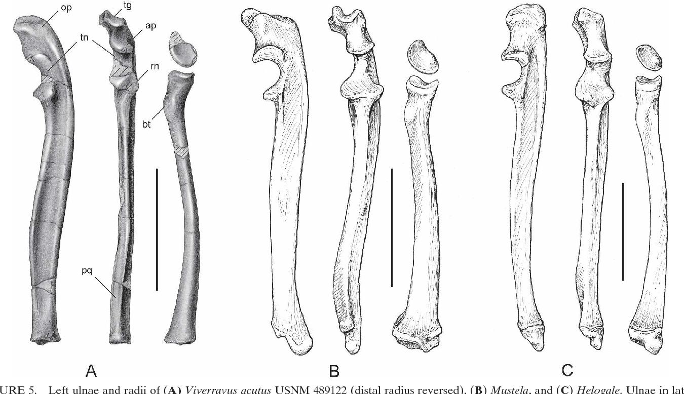 Figure 5 from Postcranial Anatomy of Viverravus ( Mammalia ...