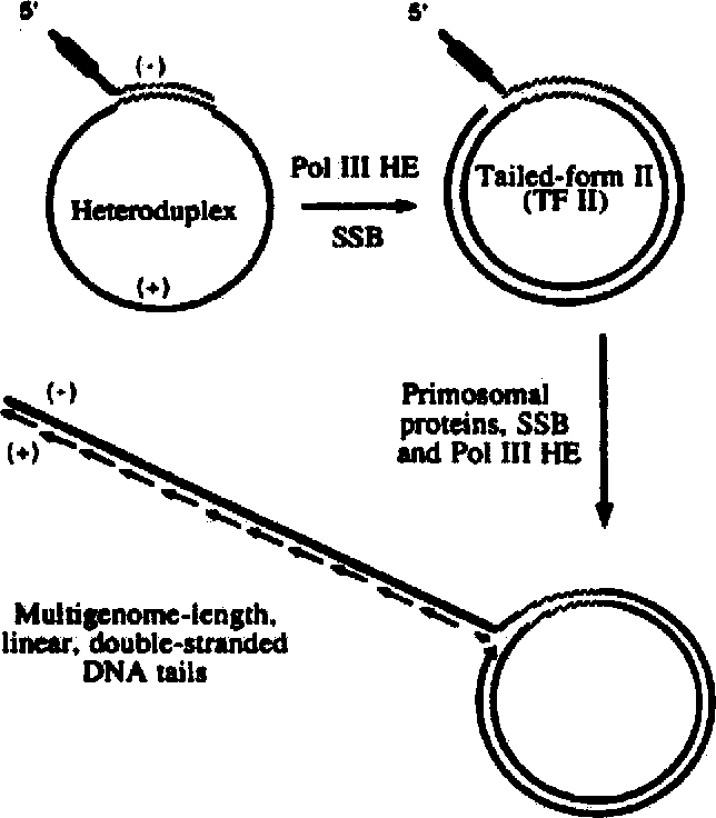 Figure 4 From Replisome Mediated Dna Replication
