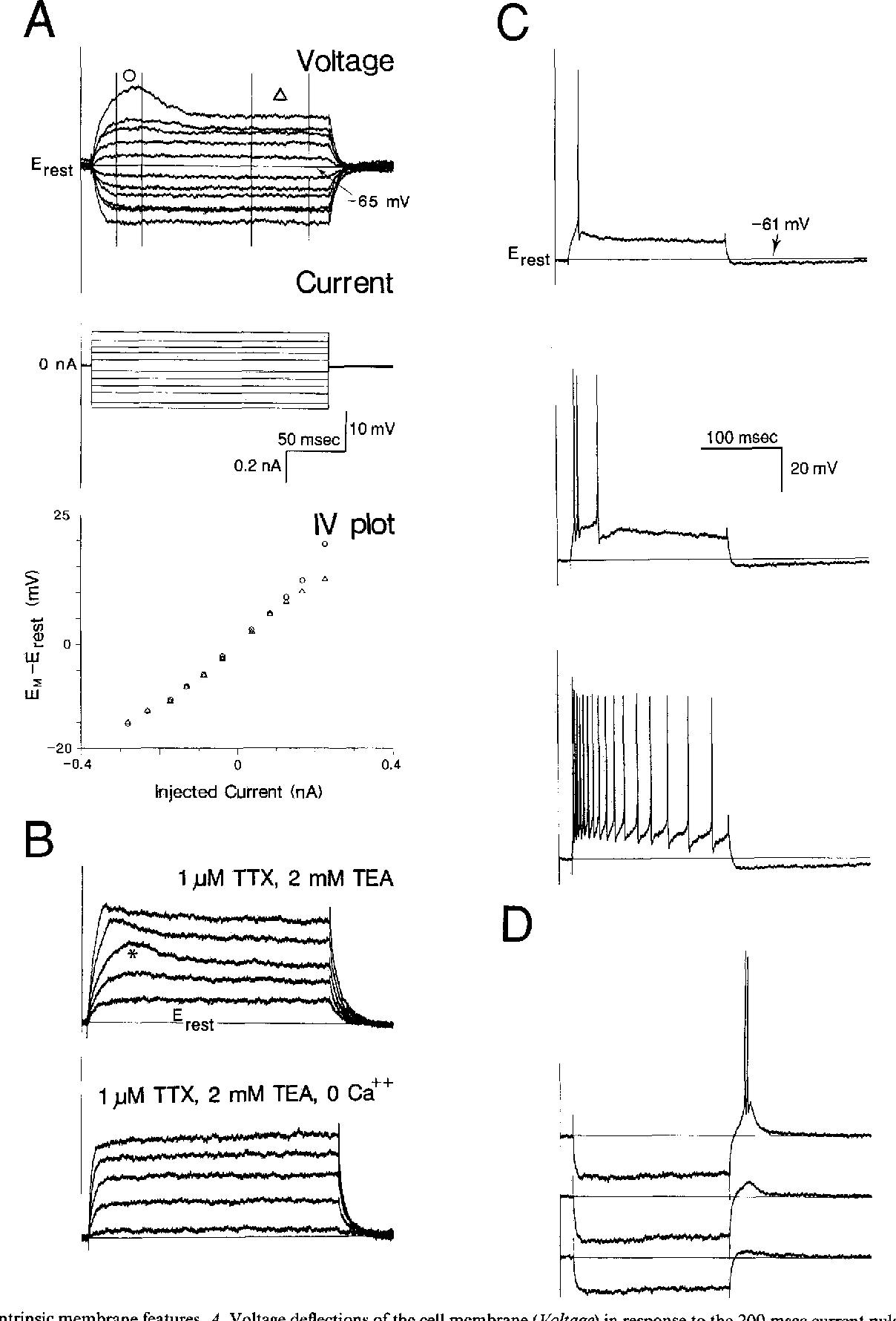 Anatomy and physiology of multipolar cells in the rat inferior ...
