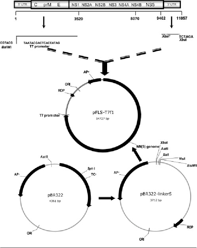 The Glycosylation Site In The Envelope Protein Of West Nile Virus