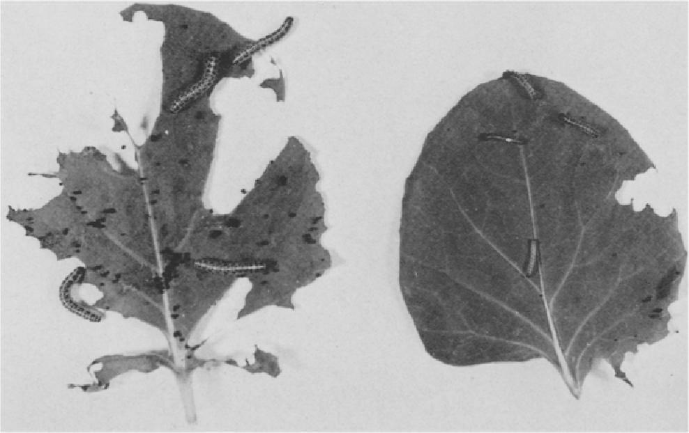 Fig. 2. Groeiremming door M Y C 8005 bij larven van Pieris brassicae. Links.