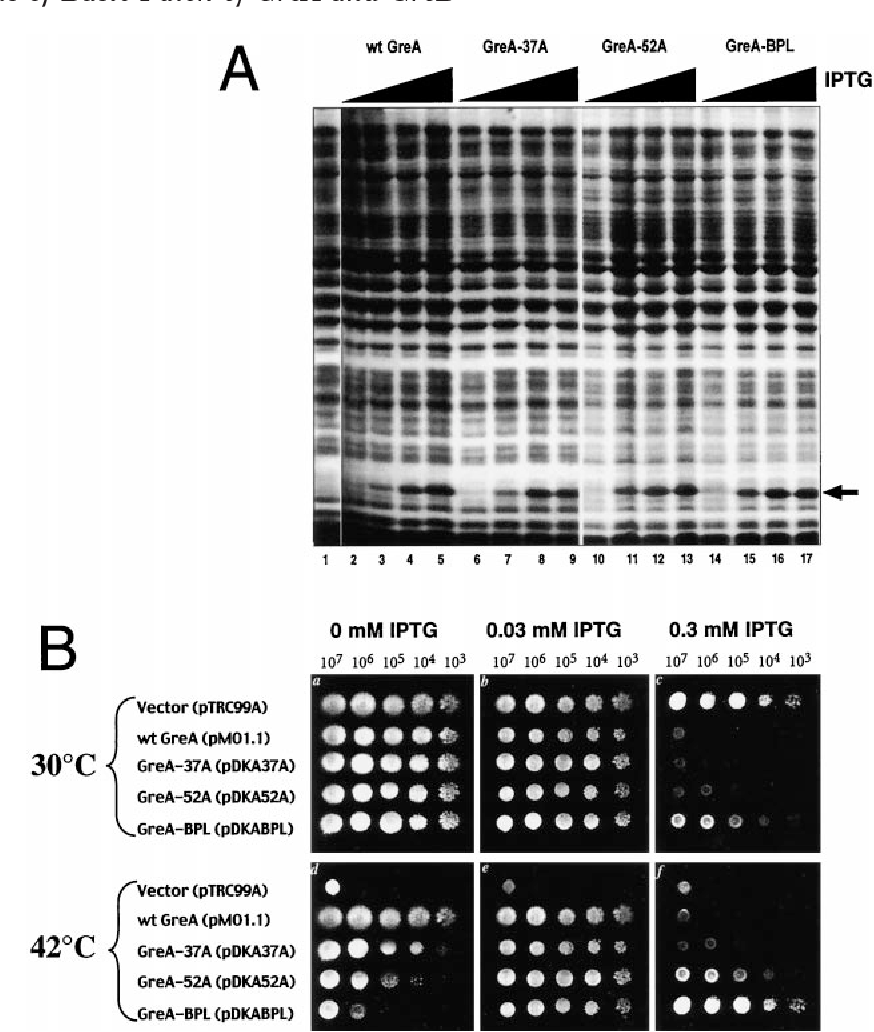 """FIG. 5. In vivo analysis of BPL-GreA mutants. A, Coomassie staining after Tris-Tricine SDS-16%-PAGE of the total cell lysates of greA–/greB– E. coli strain containing vector alone (lane 1) or plasmids expressing wt GreA (lanes 2–5), GreA-37A (lanes 6–9), GreA-52A (lanes 10–13), and GreA-BPL (lanes 14–17). Cells were induced by 0.03 mM (lanes 3, 7, 11, and 15), 0.1 mM (lanes 4, 8, 12, and 16), and 0.3 mM (lanes 1, 5, 9, 13, and 17) IPTG. The arrow indicates the position of expressed Gre protein on the gel. B, photograph of cultures grown on LB-agar medium under conditions specified in the figure and under """"Materials and Methods."""" The numbers at the top of panels a–c indicate the number of cells/ml."""