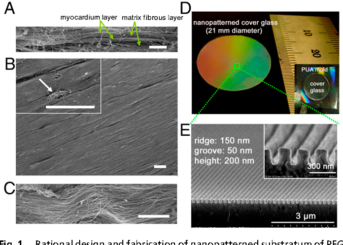 Nanoscale Cues Regulate The Structure And Function Of Macroscopic