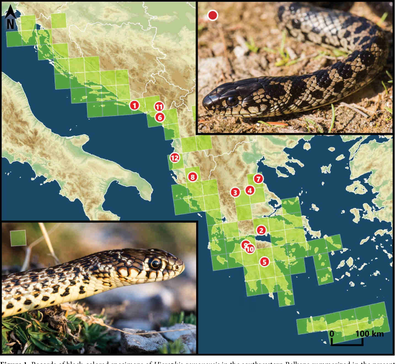 Figure 1 from Color and pattern variation of the Balkan whip snake