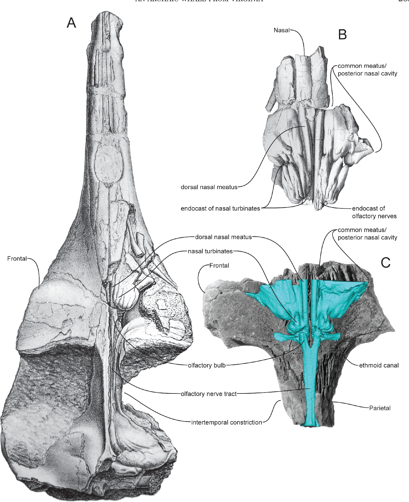 Figure 5 from On the olfactory anatomy in an archaic whale ...