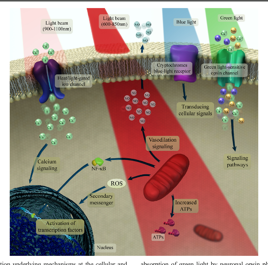 Figure 4 from Brain Photobiomodulation Therapy: a Narrative Review
