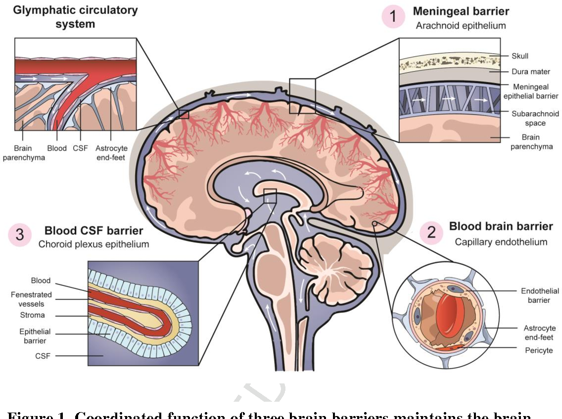 The blood brain barrier and neuropsychiatric lupus: new perspectives ...