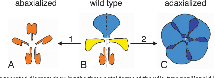 Figure 1 from legume flowers bear fruit semantic scholar exaggerated diagram showing the three petal forms of the wild type ccuart Choice Image