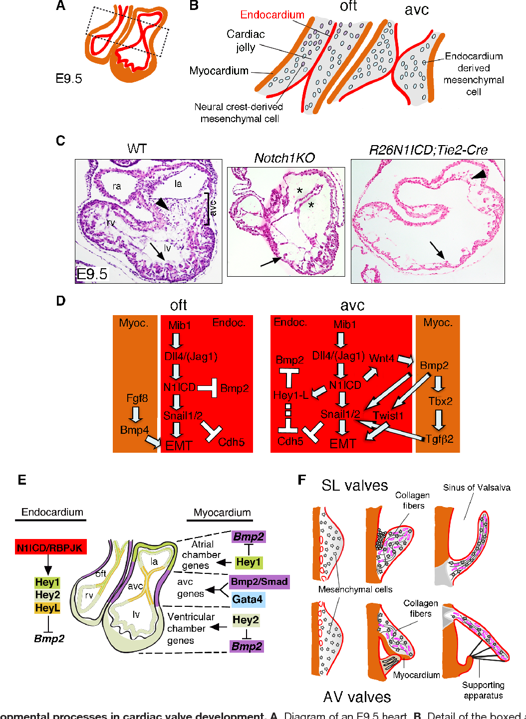 Figure 4 from notch signaling endocardial notch signaling in cardiac figure 4 developmental processes in cardiac valve development a diagram of an e9 ccuart Choice Image