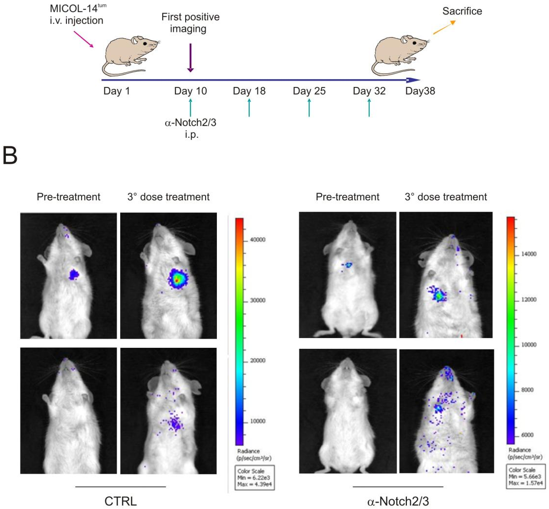 Figure 23 from Notch3 signalling promotes tumour growth in