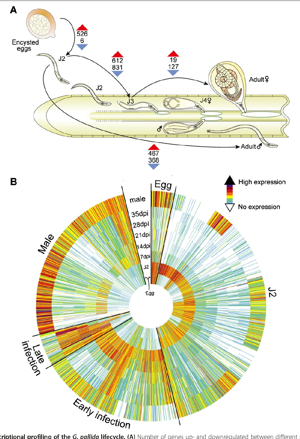 The genome and life stage specific transcriptomes of globodera figure 3 pooptronica Gallery