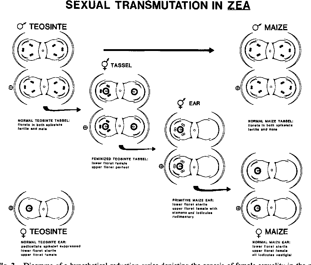 Figure 3 from evolution of female sexuality in the maize ear zea figure 3 ccuart Images