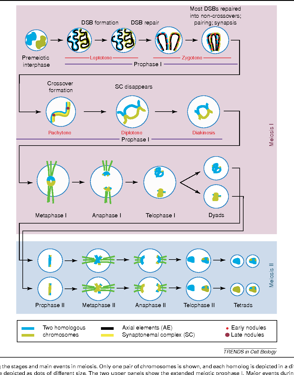Figure 1 from coordinating the events of the meiotic prophase diagram showing the stages and main events in meiosis only one pair ccuart Choice Image