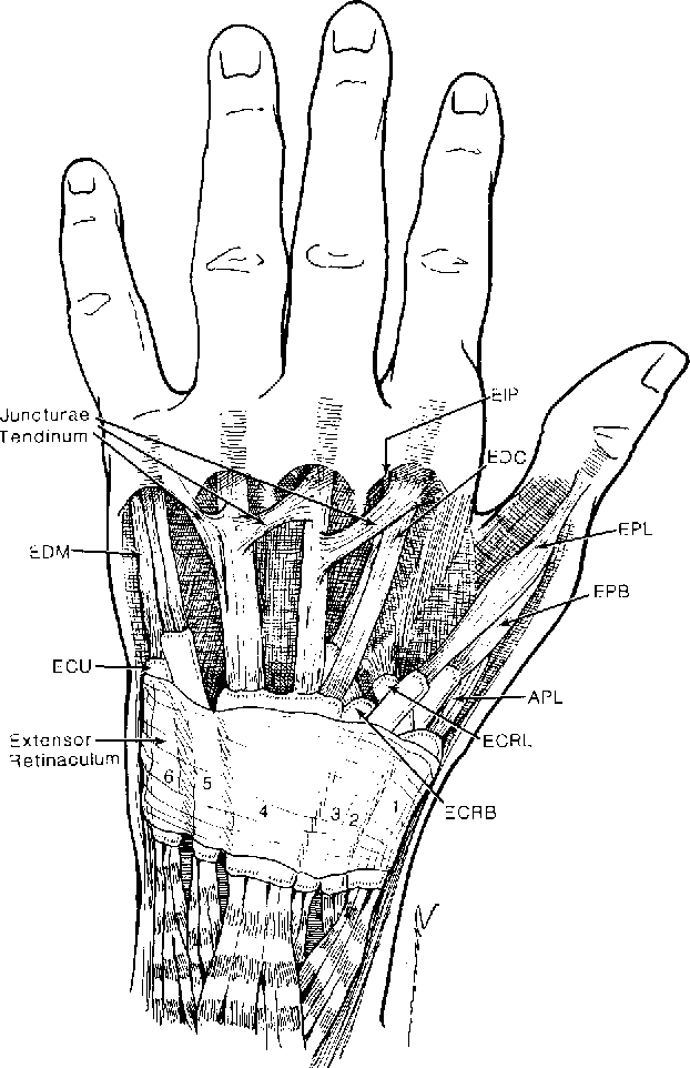 CME Extensor Tendon : Anatomy , Injury , and Reconstruction ...