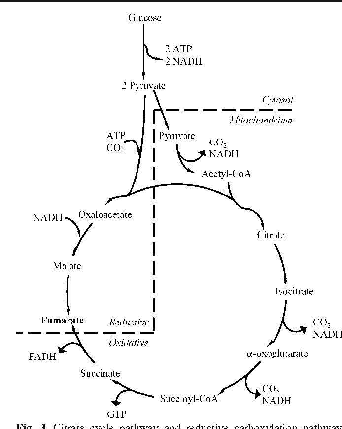 Fumaric Acid Production By Fermentation