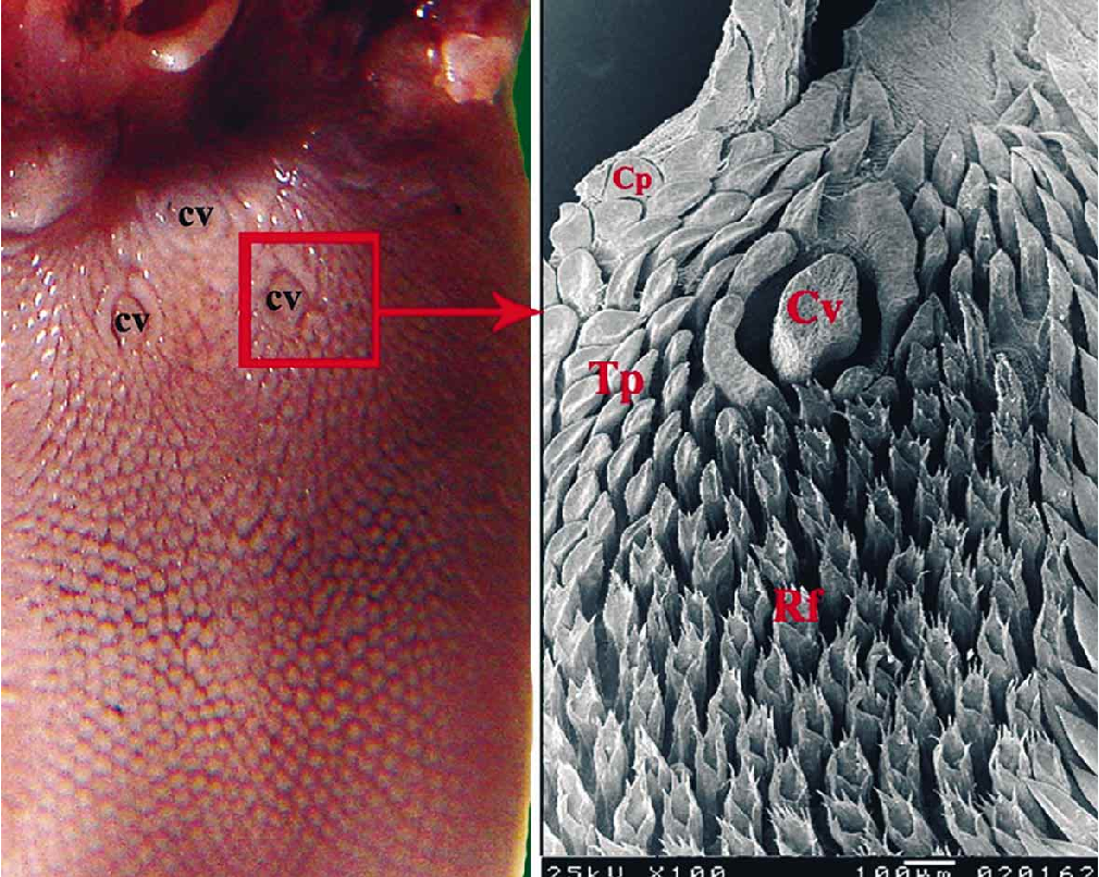 Figure 3 From Morphological Comparison Of The Filiform Papillae Of