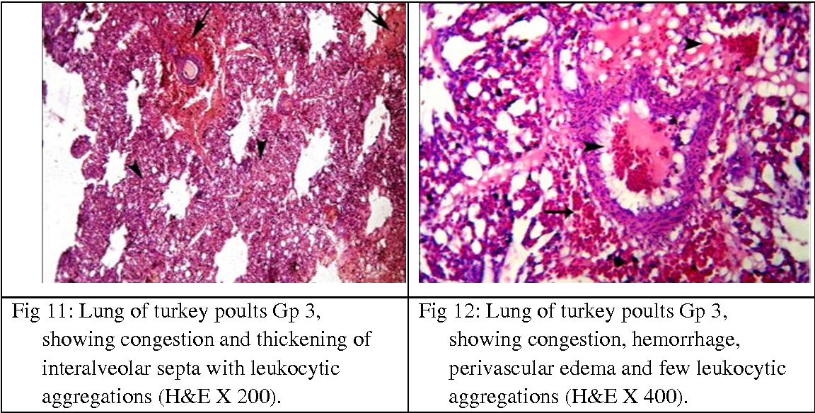 Fig 12: Lung of turkey poults Gp 3, showing congestion, hemorrhage, perivascular edema and few leukocytic aggregations (H&E X 400).