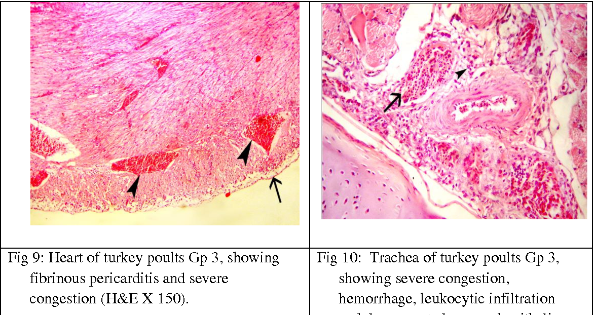 Fig 9: Heart of turkey poults Gp 3, showing fibrinous pericarditis and severe
