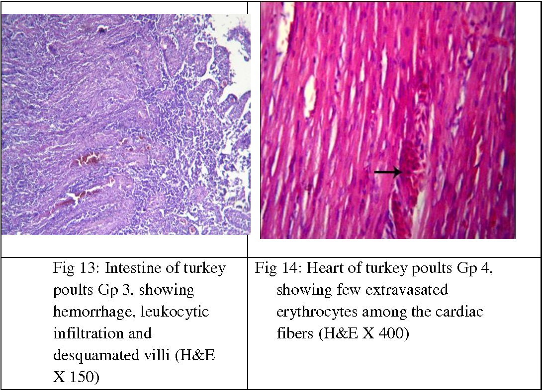 Fig 14: Heart of turkey poults Gp 4, showing few extravasated