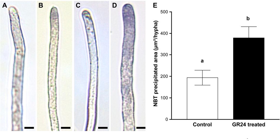 newest d7fd9 d2f69 PDF] GR24, a synthetic analog of strigolactones, stimulates ...