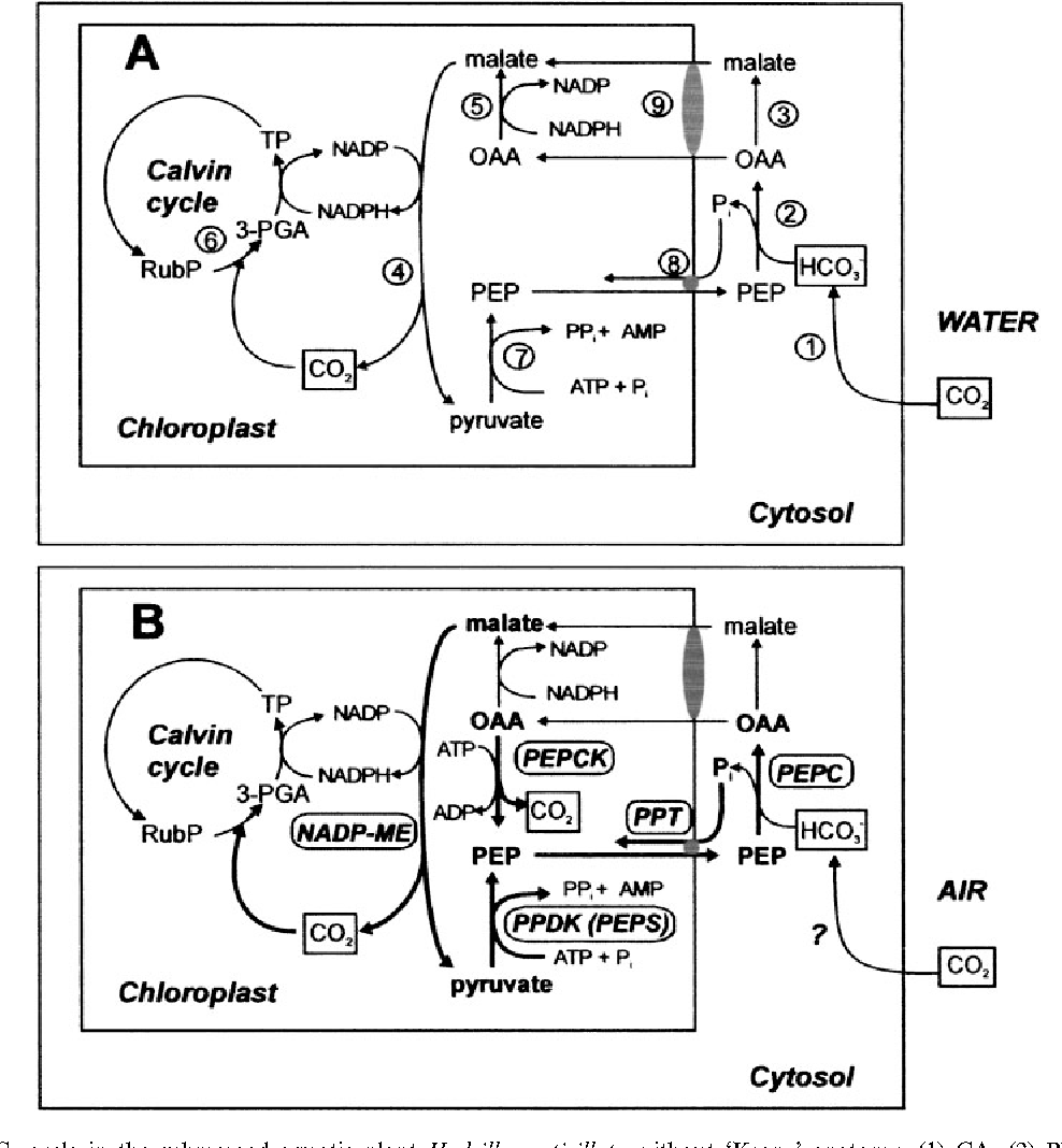 Figure 3 from Overexpression of C(4)-cycle enzymes in transgenic C(3 ...