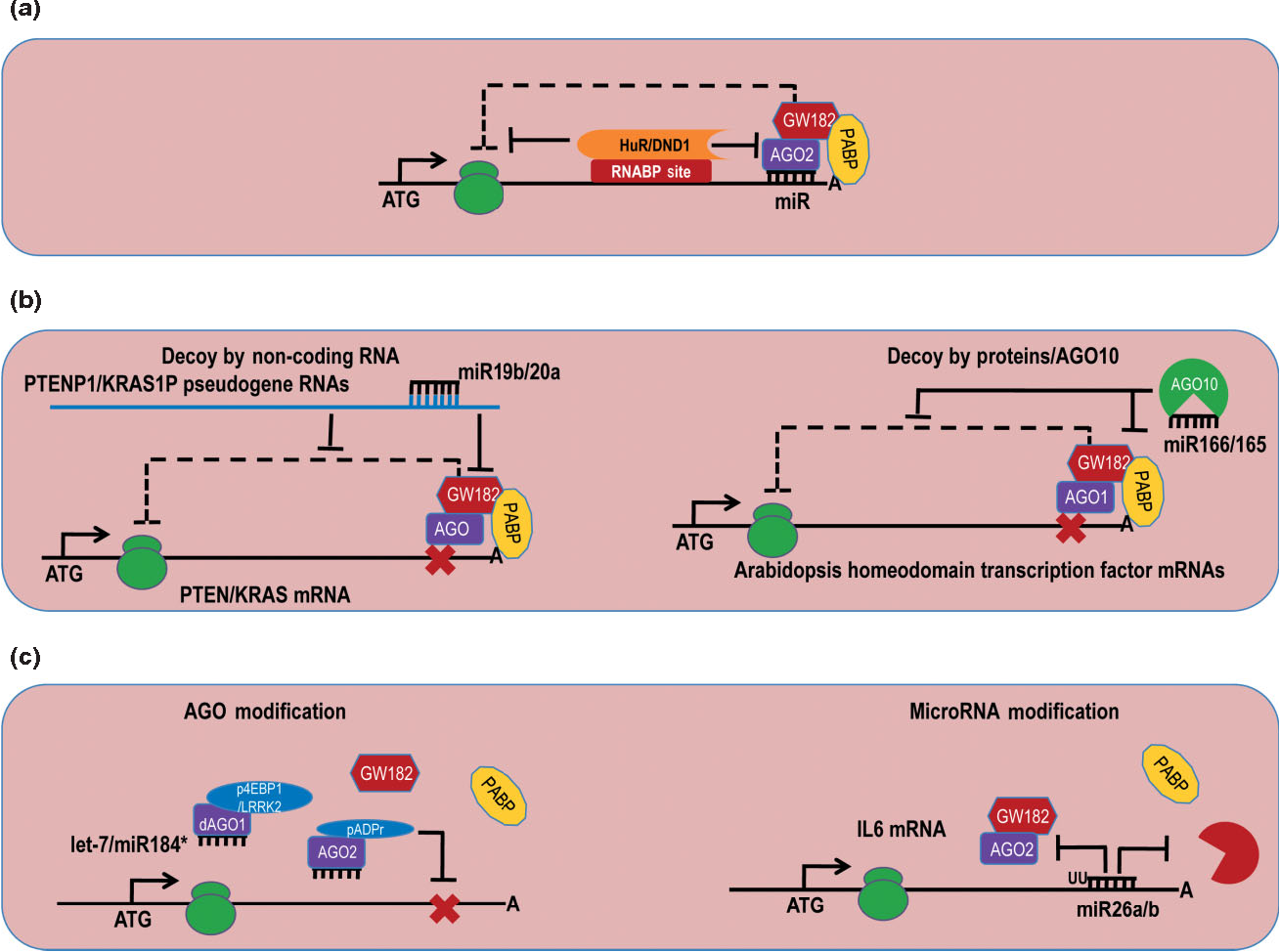 Figure 4 From Posttranscriptional Upregulation By Micrornas