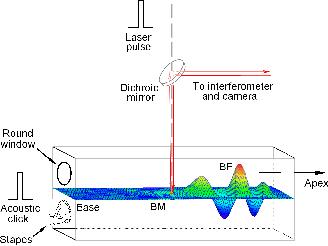 Figure 1   Diagram of the experimental setup. Infrared laser pulses were focused on the basilar membrane (BM) or on a bead on the BM in the basal turn of the cochlea. Acoustical clicks were delivered to the external ear