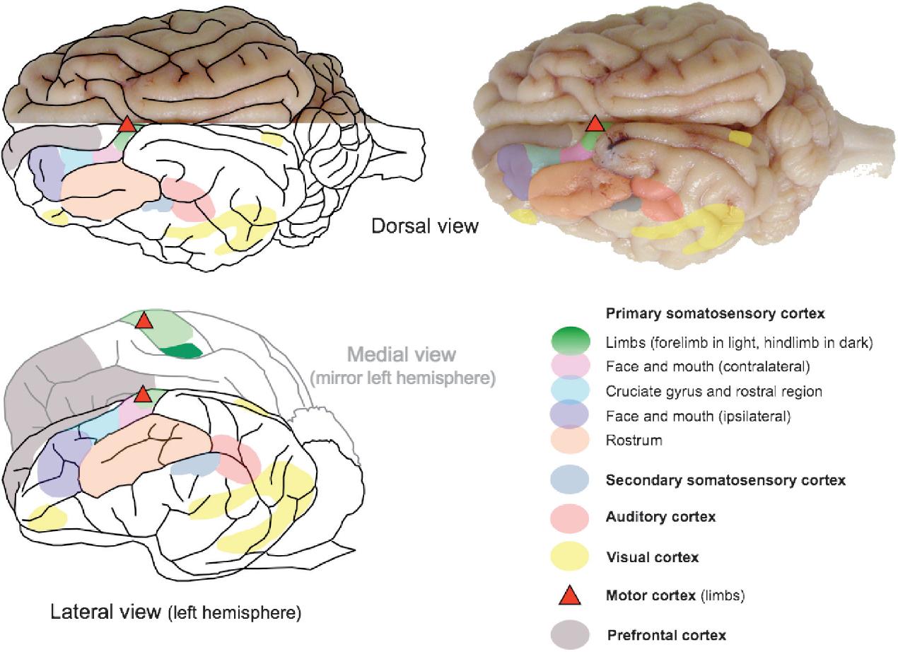 Diagram Of A Pigs Brain - Custom Wiring Diagram •