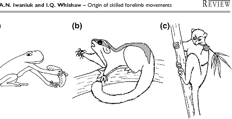 figure 1 from on the origin of skilled forelimb movements